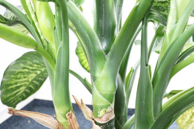 Dieffenbachia mit Blätteransätzen