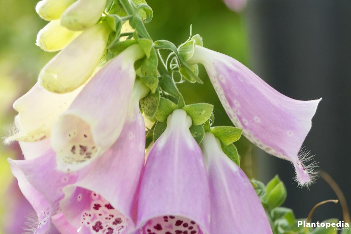 Digitalis, Fingerhut