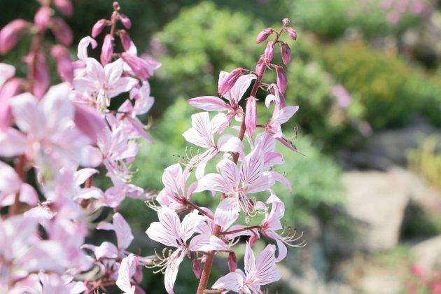 Diptam zählt zu geschützten, schönsten einheimischen Pflanzen
