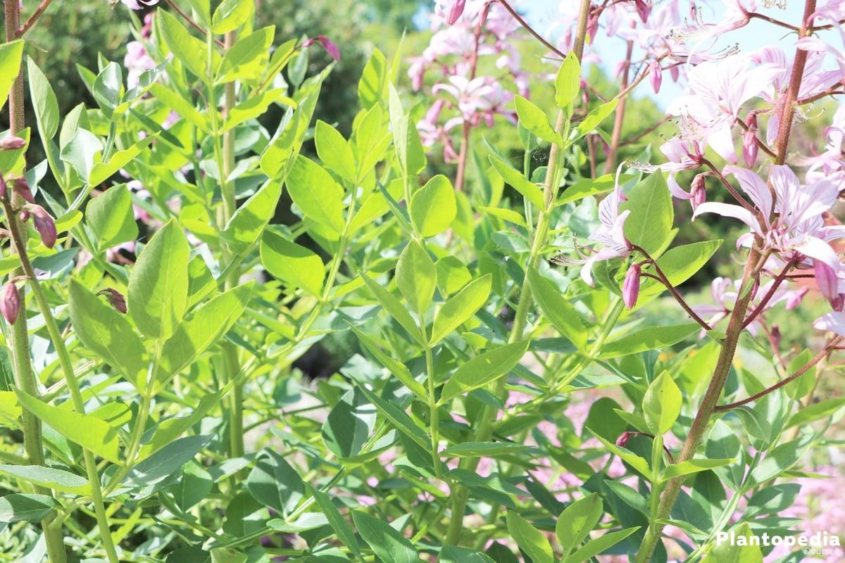 Diptam, Dictamnus wächst bis zu 100 Zentimeter hoch