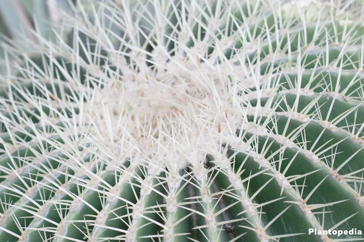 Echinocactus grusonii, Schwiegermutterstuhl, Goldkugelkaktus stammt aus Mexiko
