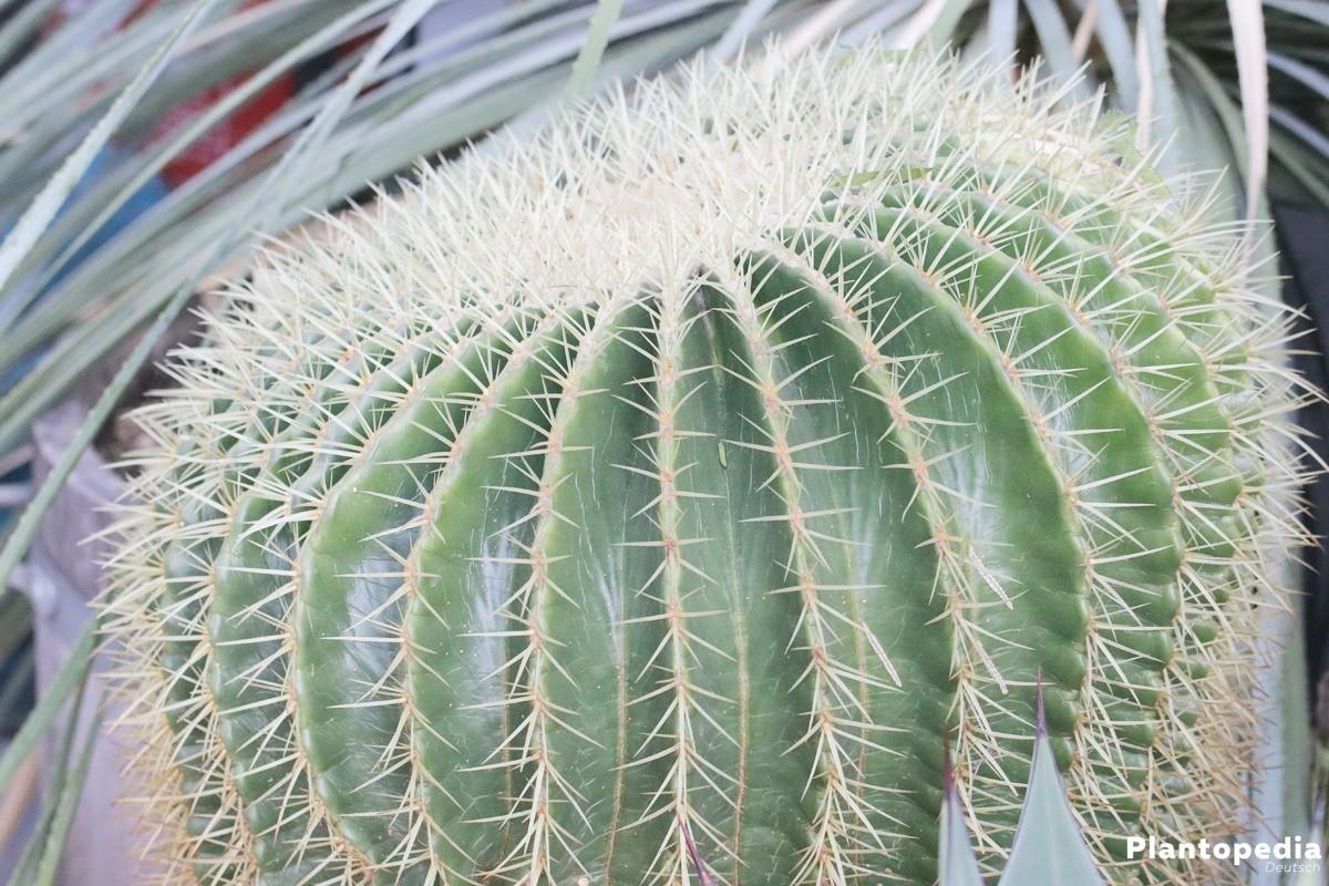 Echinocactus grusonii, Schwiegermutterstuhl bevorzugt hellen, sonnigen Standort
