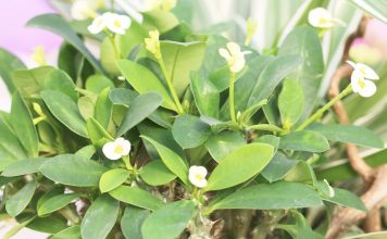Euphorbia milii, Christusdorn