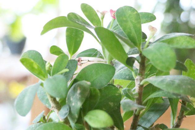 Christusdorn wächst auch in Zimmerkultur zu kleinen Büschen heran