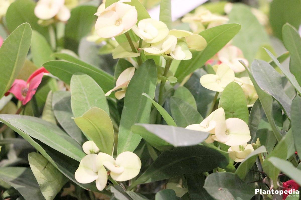 Christusdorn mit weißen Blüten