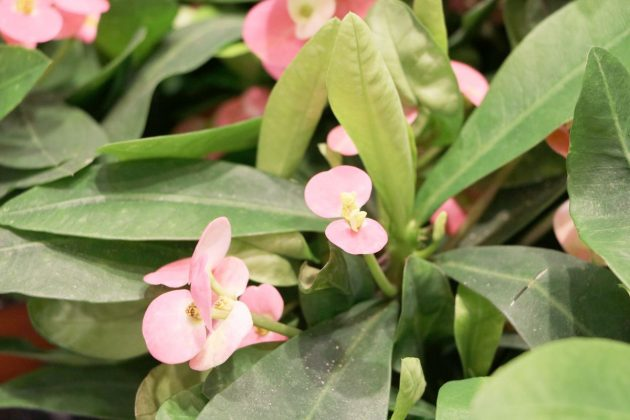 Euphorbia milii mit rosa Blütenfarbe