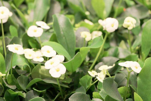 Euphorbia milii mit weißer Blütenfarbe