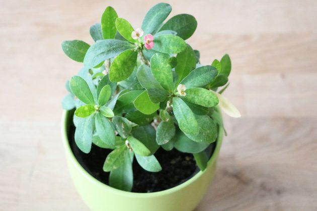 Euphorbia milii, Christusdorn als Zimmerpflanze