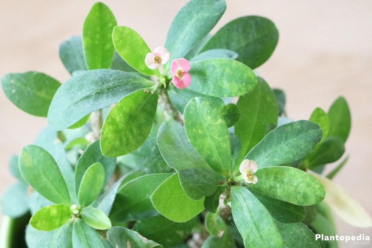 Euphorbia milii ist eine beliebte Zimmerpflanze