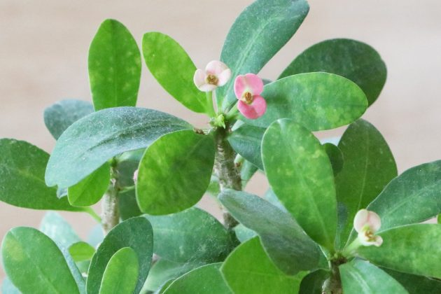 Euphorbia milii - die Blüten zeigen sich ganzjährig