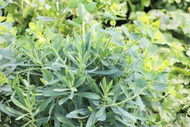 Euphorbia, Wolfsmilch