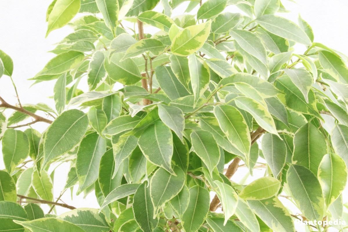 Birkenfeige wächst in Zimmerkultur bis 300 Zentimeter hoch
