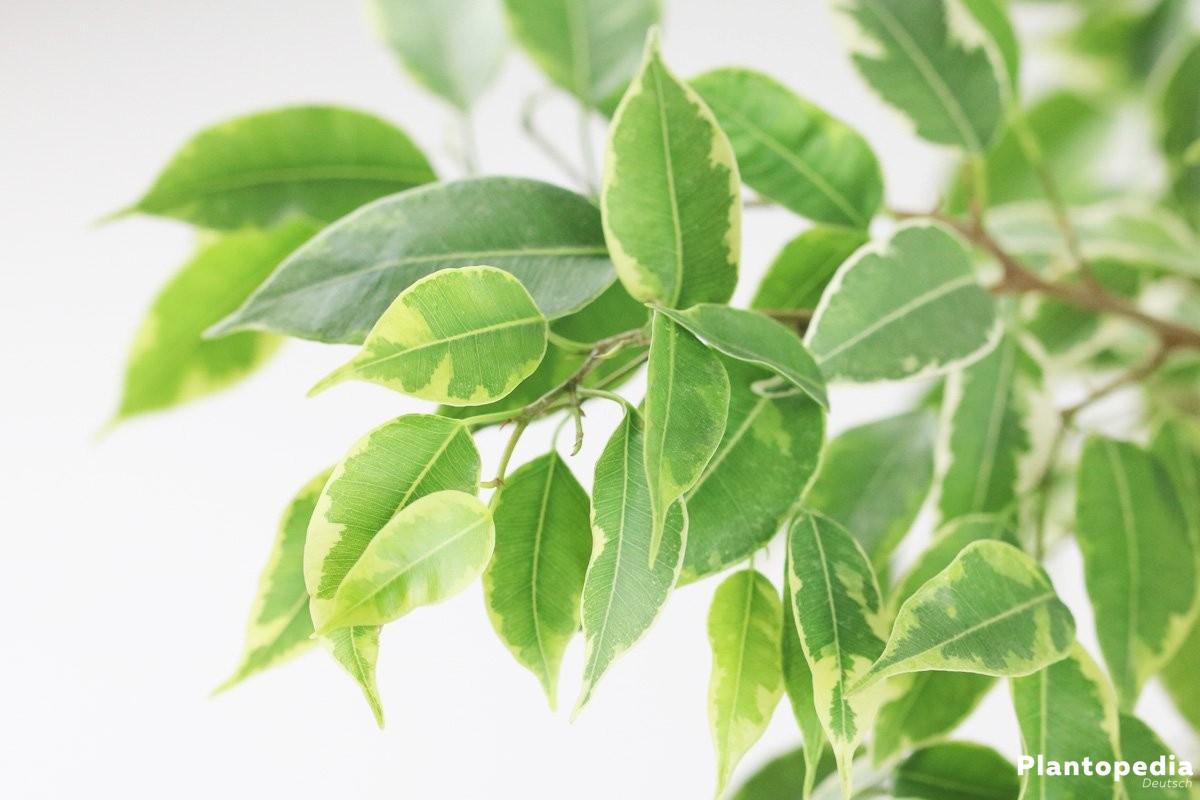 Ficus benjamina braucht mäßig viel Wasser