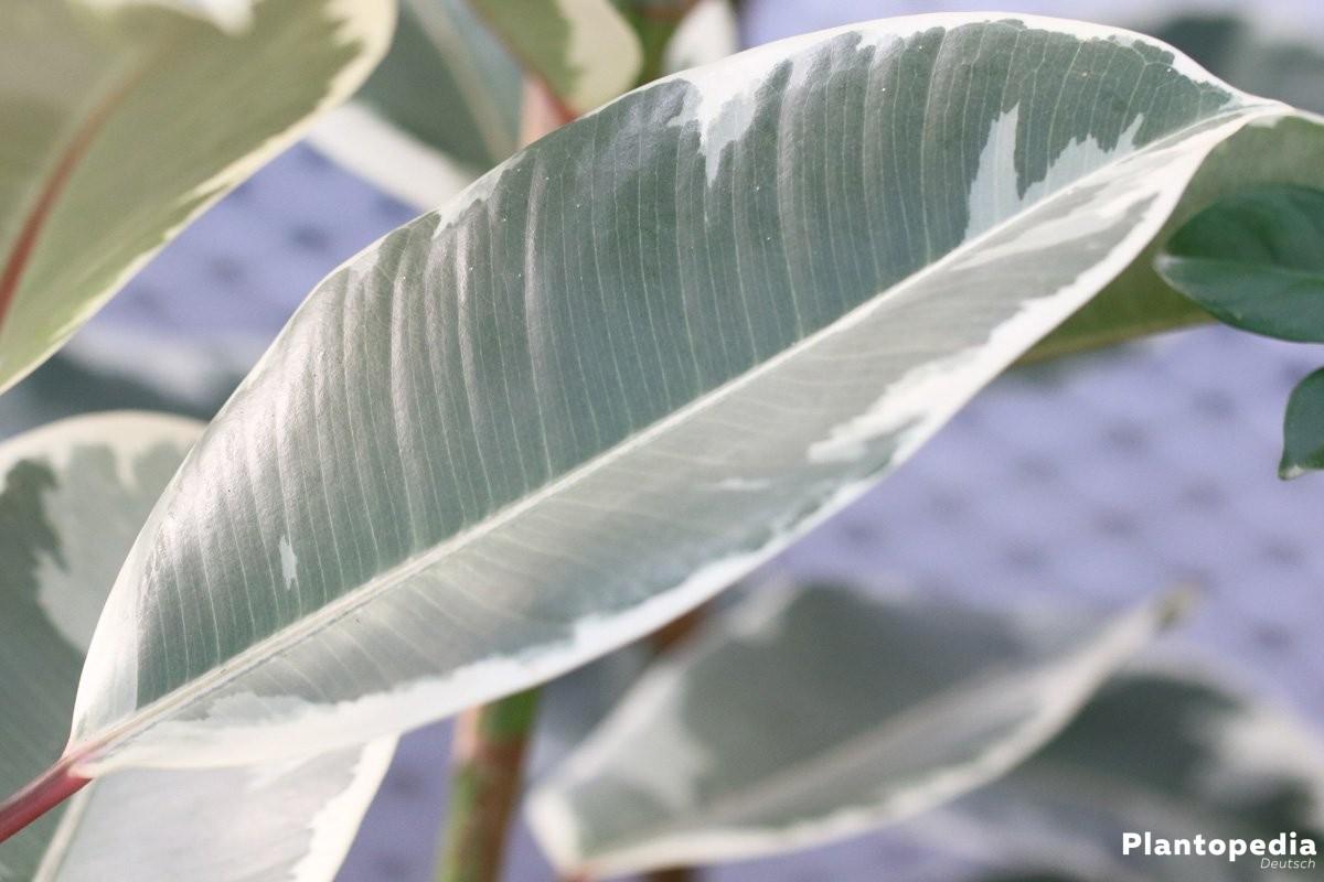 Ficus elastica, Gummibaum ist immergrün