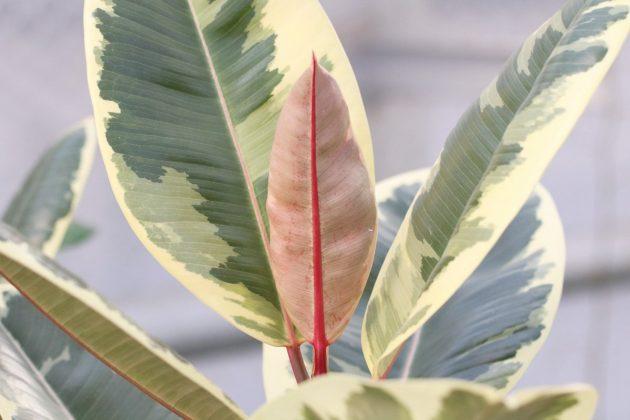 Ficus elastica, Gummibaum ist sehr pflegeleicht