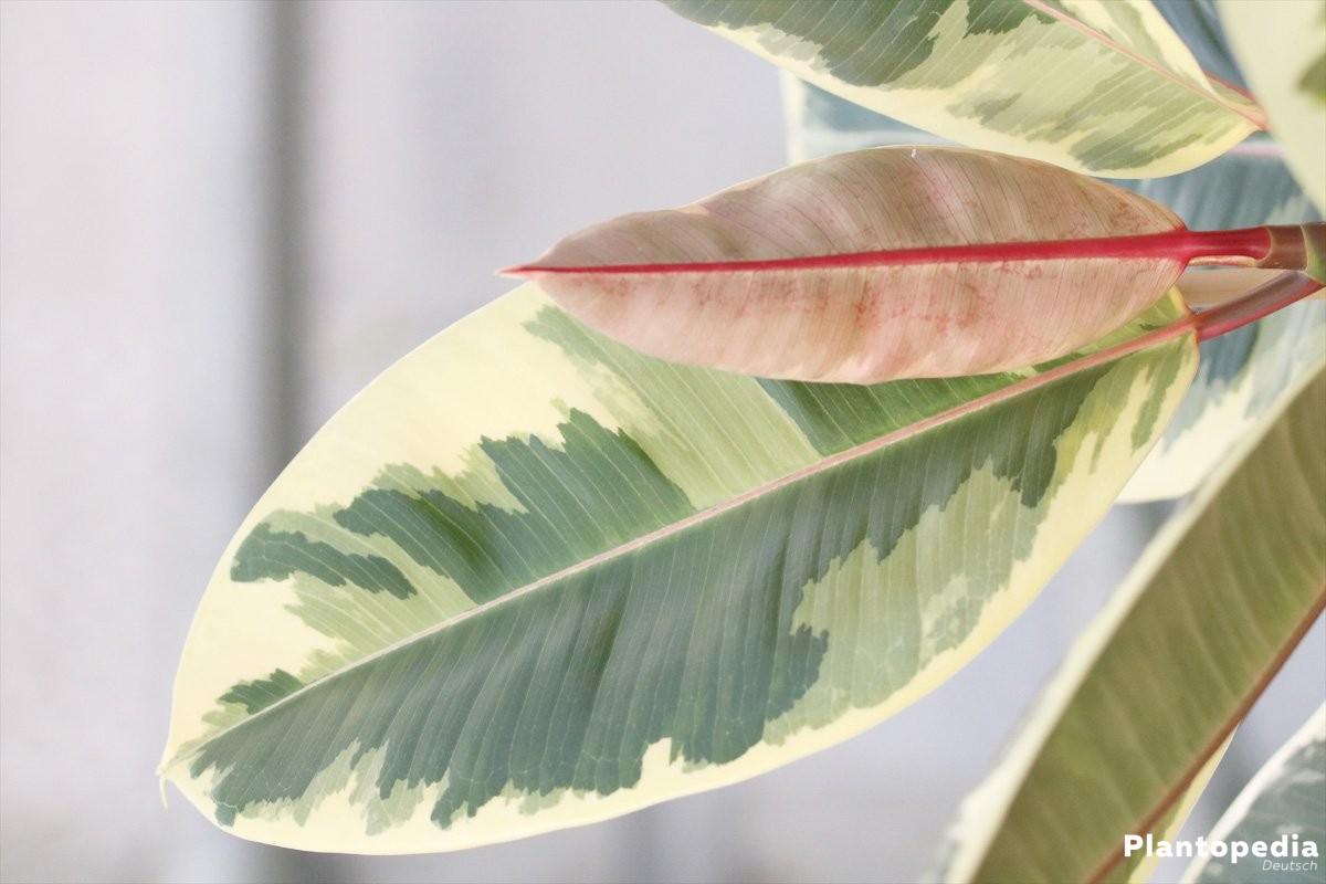 Ficus elastica wächst bis zu 4 Meter hoch