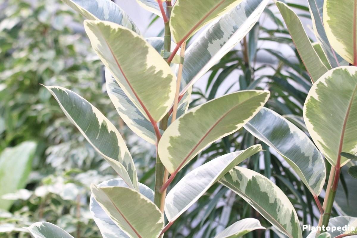 Gummibaum gehört zur Gattung der Feigenbäume