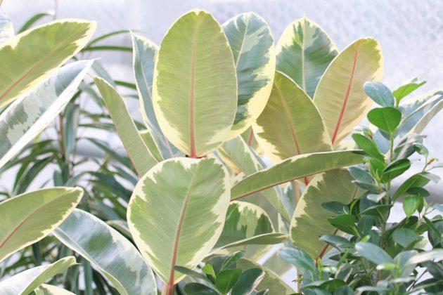Ficus elastica, Gummibaum ist eine immergrüne Pflanze