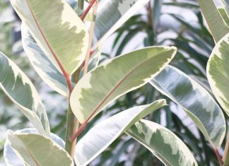 Ficus elastica, Gummibaum
