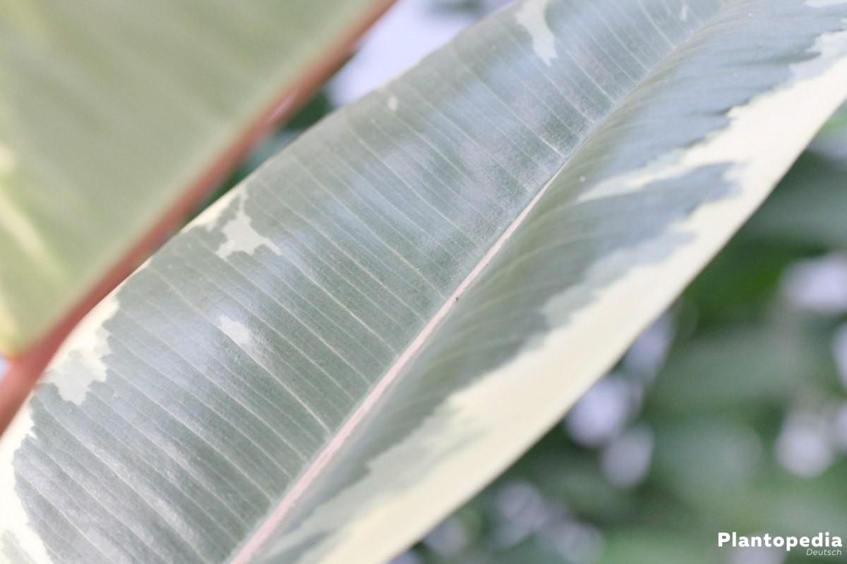 Ficus elastica ein tropischer Zierbaum