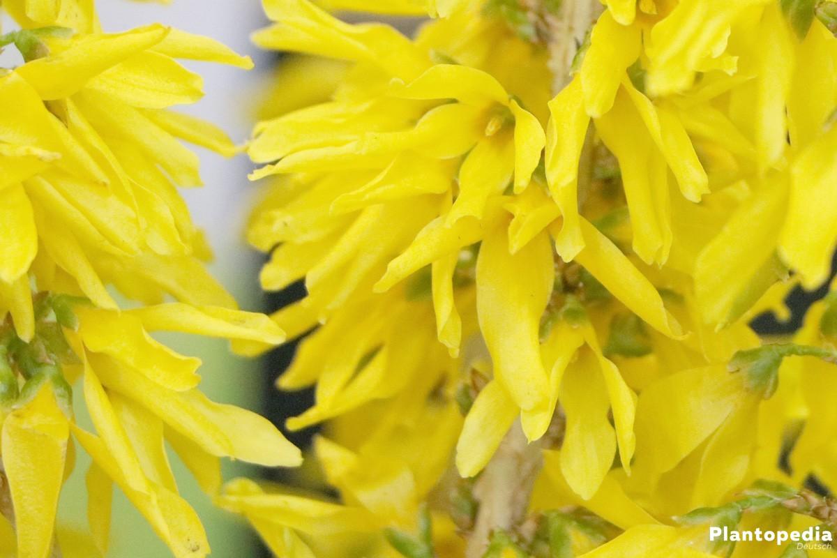 Forsythie auch Goldglöckchen oder Goldflieder genannt