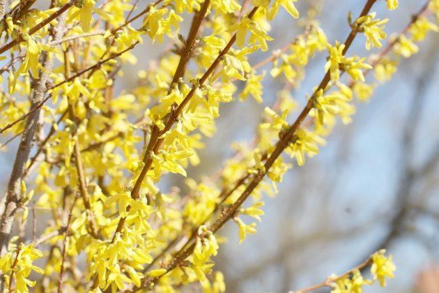 Forsythia ziert auch als robuste Heckenpflanze den Garten