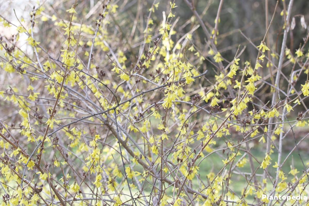 Forsythia, Forsythie mag sonnigen bis halbschattigen Standort