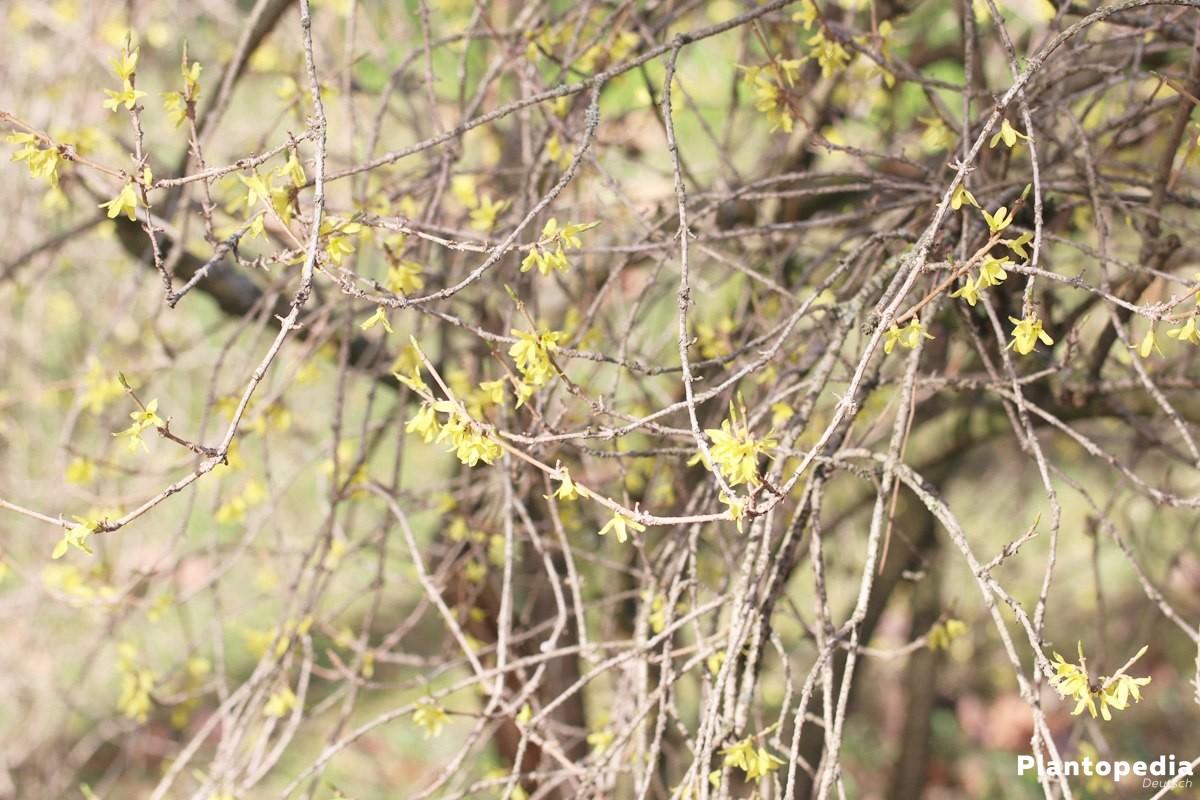 Forsythia gehört zu den Ölbaumgewächsen