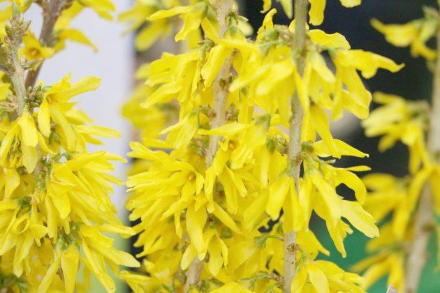 Forsythia, Forsythie mit goldgelben Blüten