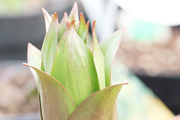Fritillaria imperialis - Blütenknospe