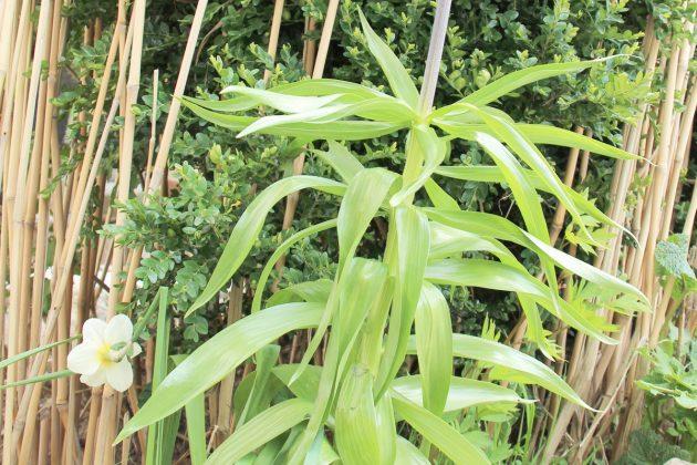 Fritillaria imperialis mit lanzettenförmigem Laub