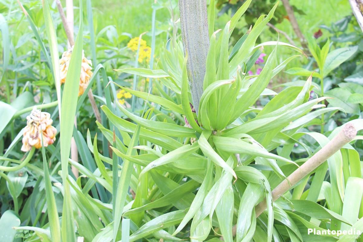 Kaiserkrone wächst bis zu 160 Zentimeter hoch