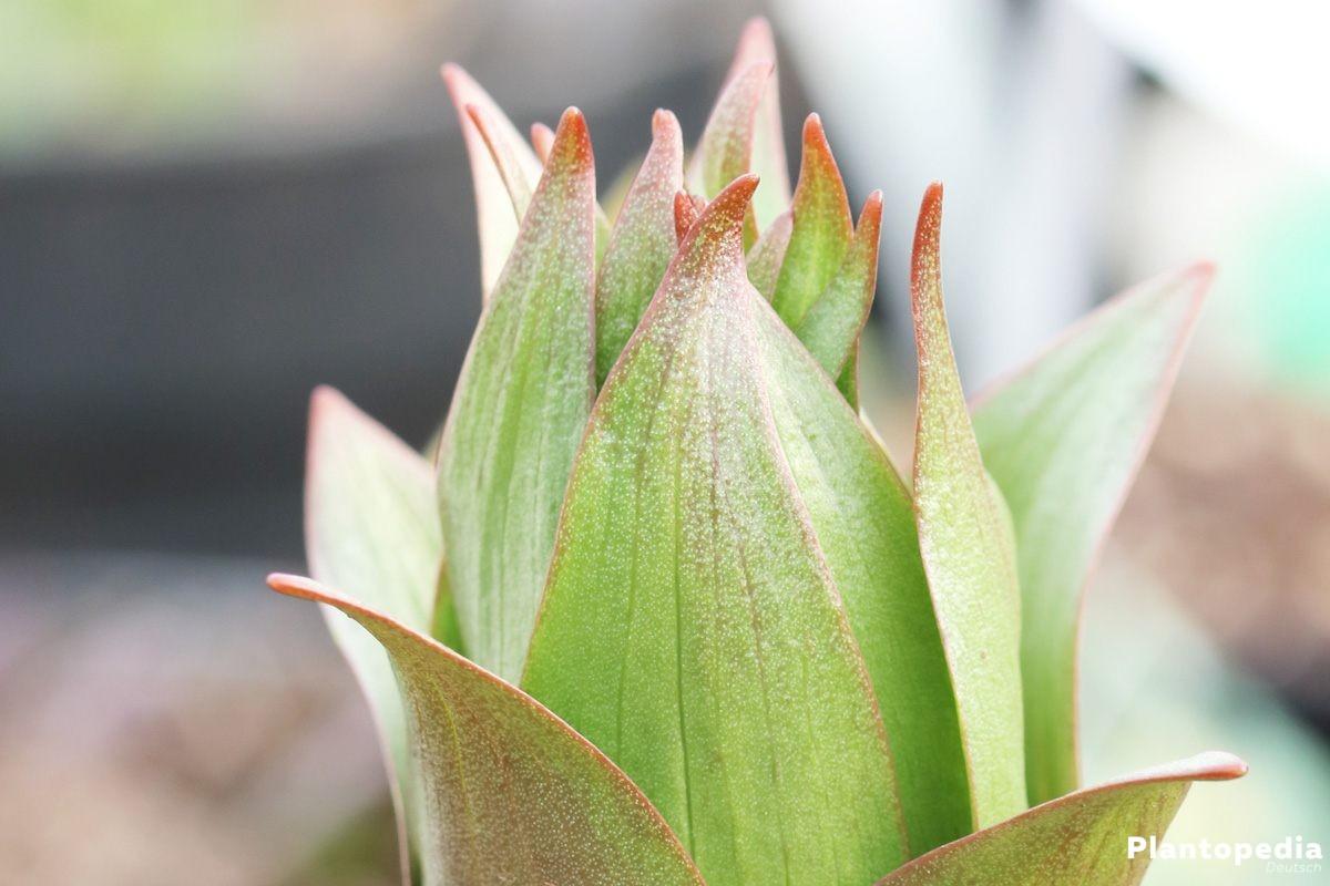 Fritillaria imperialis, Kaiserkrone mit ihrer Blüte