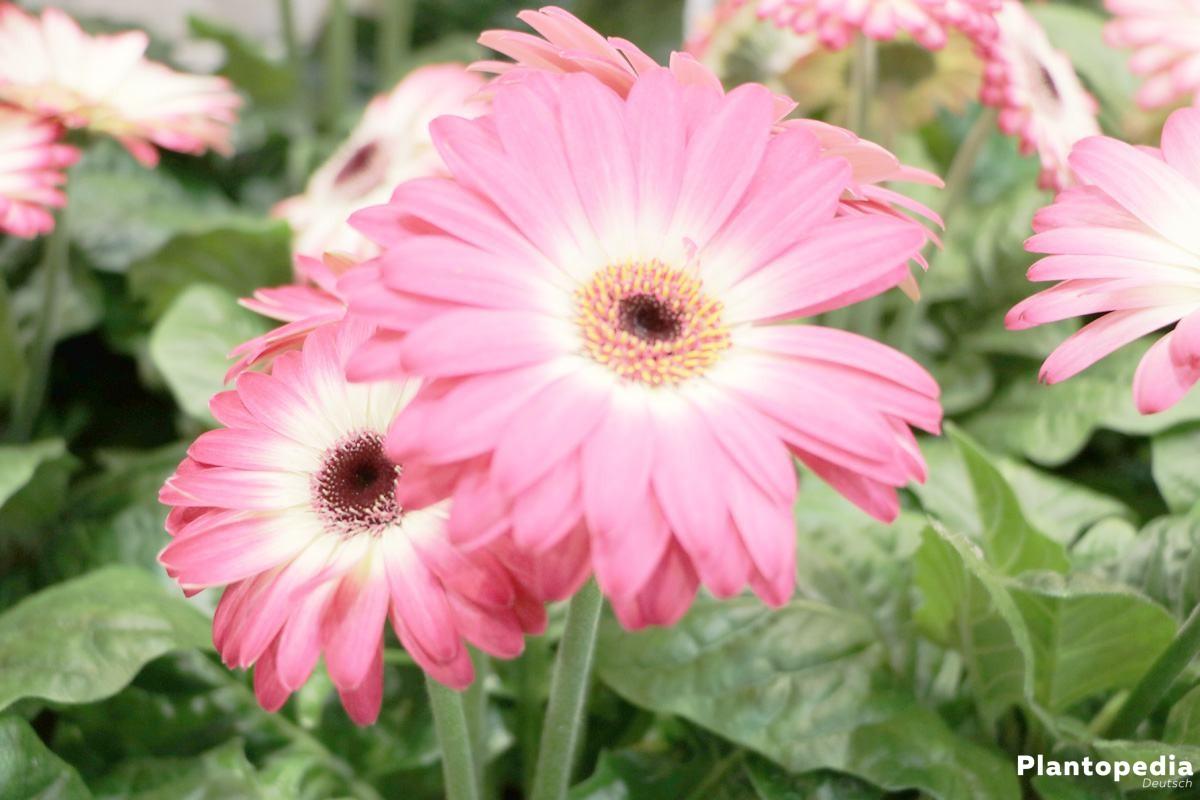 Gerbera in vielen Farben und mit langen Blütenstielen