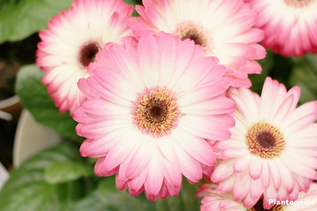 Gerbera blüht von April bis September