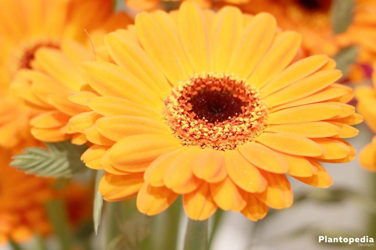 Gerbera bietet pure und vielfältige Farbenpracht