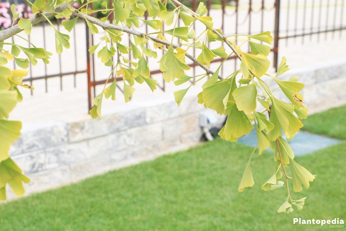 Ginkgo biloba Pendula, Hängender Fächerblattbaum
