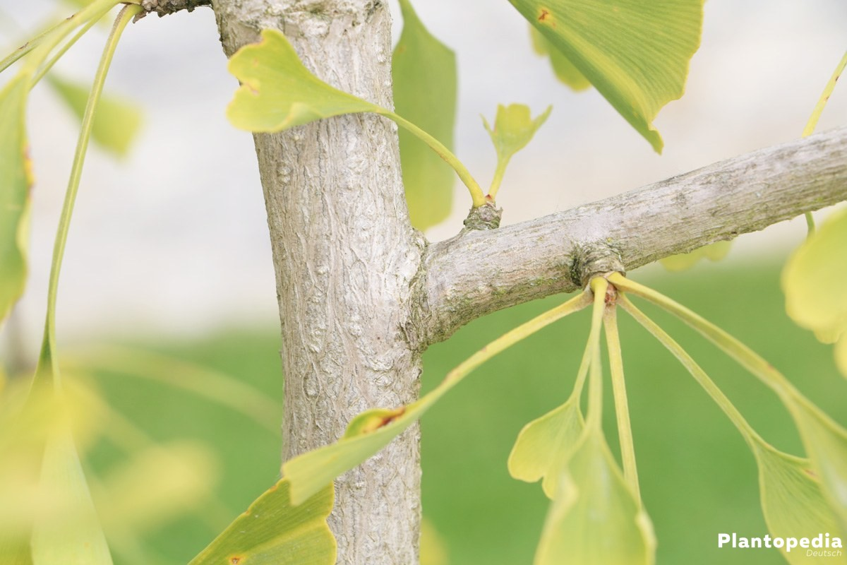 ginkgobaum ginkgo biloba im garten steckbrief pflege anleitung plantopedia. Black Bedroom Furniture Sets. Home Design Ideas