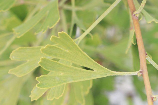 Ginkgo biloba Tubifolia, Trichterblatt-Ginkgo