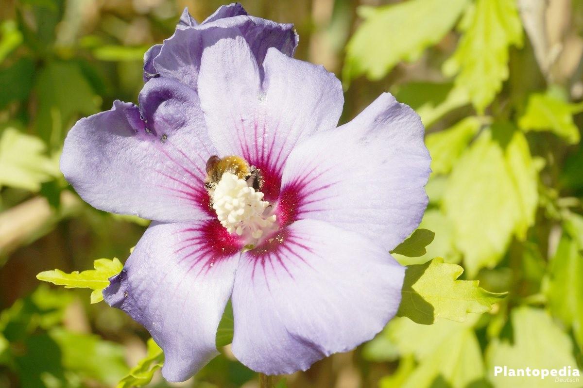 hibiskus pflege anleitung als garten und zimmerpflanze plantopedia. Black Bedroom Furniture Sets. Home Design Ideas