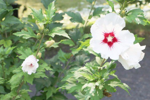 Hibiscus syriacus, Gartenhibiskus, Straucheibisch