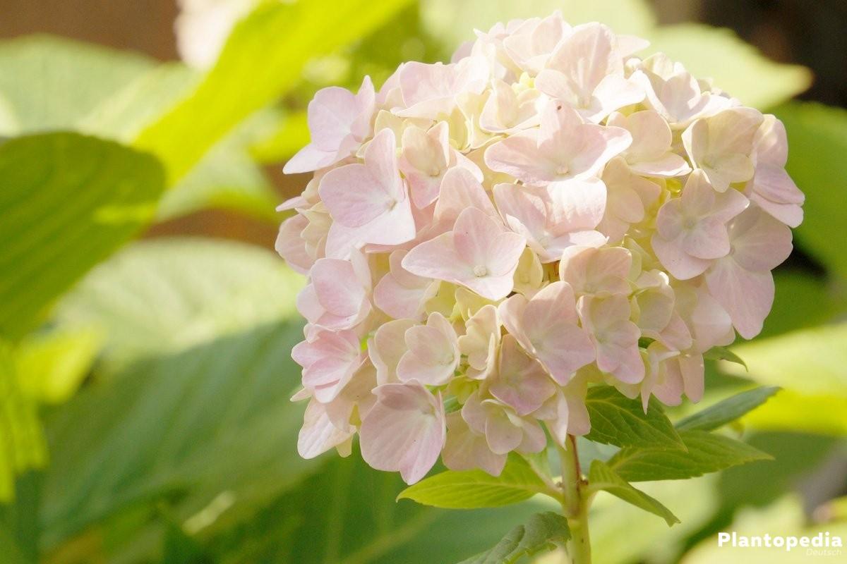 Hortensien gibt es in vielen verschiedenen Blütenfarben