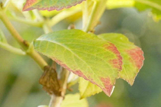 Hortensien haben große, gezahnte Blätter