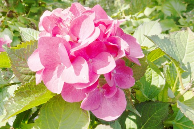 Hortensie mit pinkfarbener Blütenfarbe