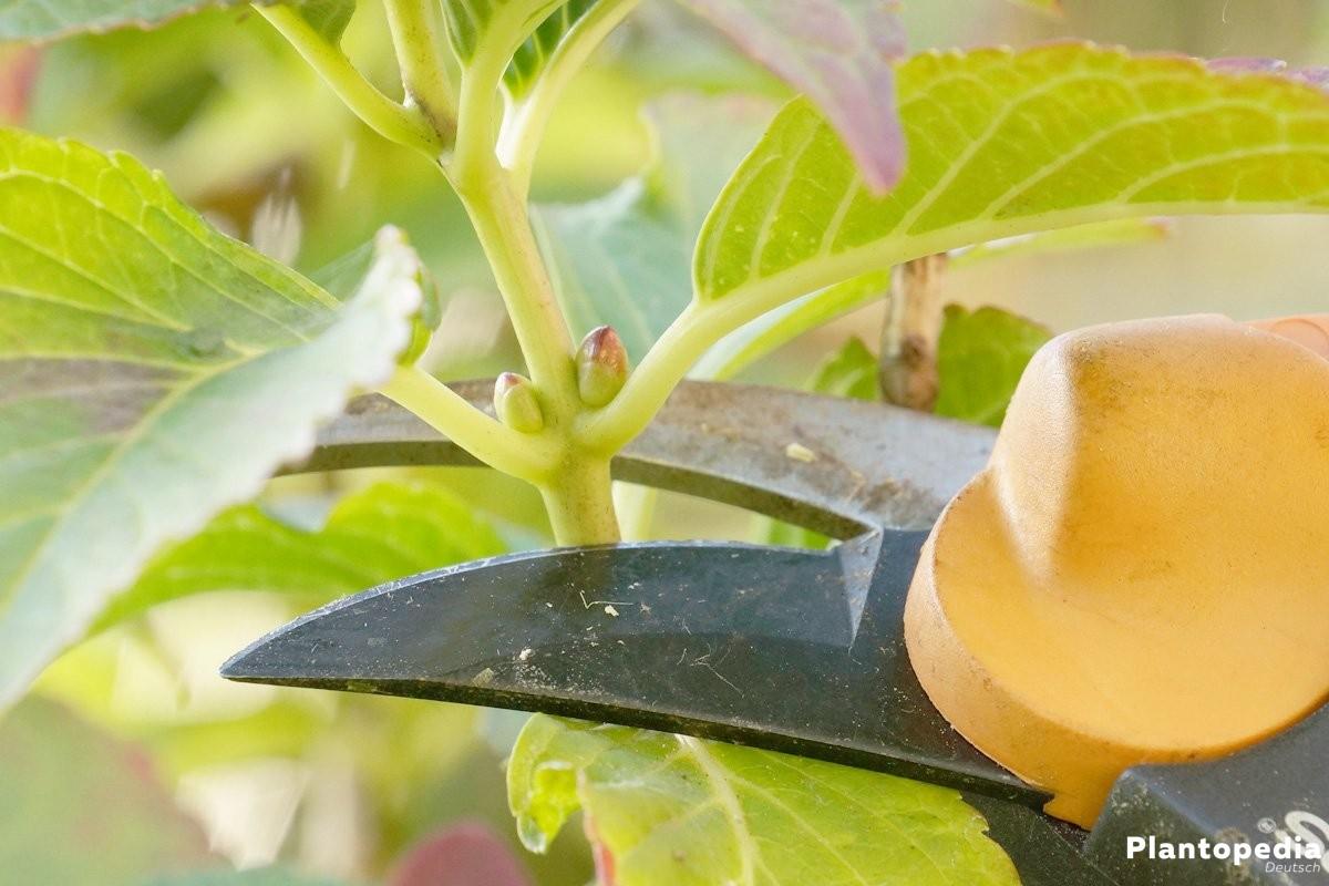 Hortensien richtig schneiden und das richtige Werkzeug verwenden