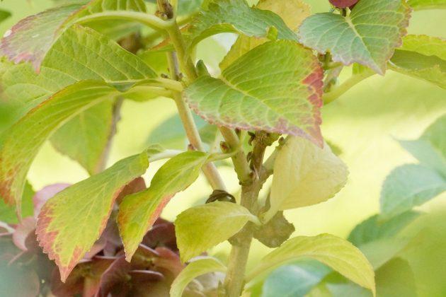 Hydrangea ist eine mehrjährige Pflanze