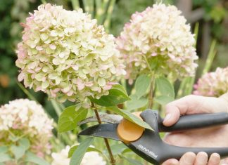 Hortensien, Hydrangeae richtig schneiden