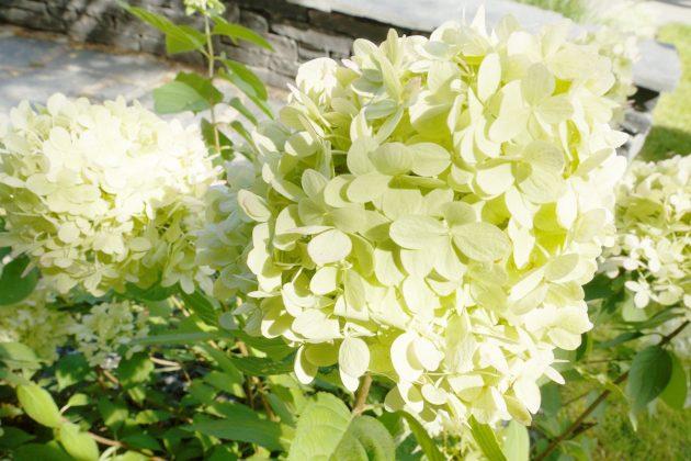 Hortensien, Hydrangeae sind nur bedingt winterfest