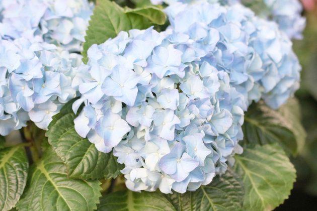 Hortensie, Hydrangea mit hellblauer Blütenfarbe