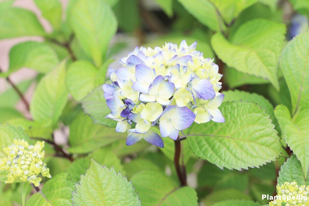 Hortensie, Hydrangea im Gartenbeet